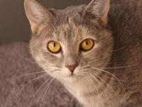 Domestic Short Hair - Gray - Sassy - Small - Young -