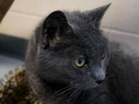Domestic Short Hair - Gray - Serena - Medium - Senior -