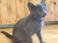 Domestic Short Hair - Gray - Smokey - Medium - Baby -