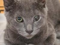 Domestic Short Hair - Gray - Stirling - Medium - Baby -
