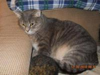 Domestic Short Hair - Gray - Tigger - Large - Adult -