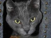 Domestic Short Hair - Gray - Wilbur - Large - Adult -