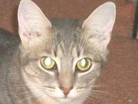 Domestic Short Hair - Gray - Willy - Small - Adult -