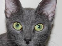 Domestic Short Hair - Gray - Wynette - Medium - Adult -