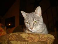 Domestic Short Hair - Grayson - Medium - Young - Male -