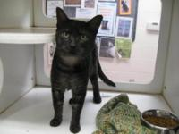 Domestic Short Hair - Greyson - Medium - Young - Male -
