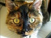 Domestic Short Hair - Gypsy - Medium - Adult - Female -