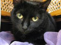Domestic Short Hair - Hannah - Large - Adult - Female -