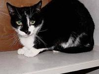 Domestic Short Hair - Harlequin - Medium - Senior -