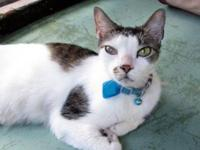 Domestic Short Hair - Hayes - Medium - Adult - Male -