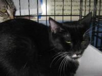 Domestic Short Hair - Hector - Medium - Baby - Female -