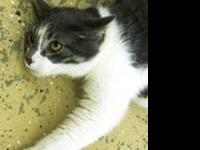 Domestic Short Hair - Helaine - Medium - Adult - Male -