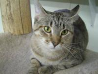Domestic Short Hair - Helen - Medium - Young - Female -