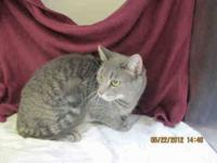 Domestic Short Hair - Helen - Small - Adult - Female -