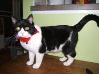 Domestic Short Hair - Herbert - Medium - Baby - Male -