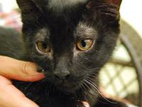 Domestic Short Hair - Herbie - Medium - Young - Male -