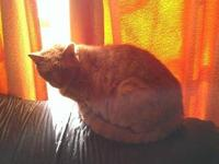 Domestic Short Hair - Hermie - Large - Senior - Male -