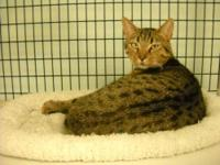 Domestic Short Hair - Hodge Podge - Medium - Adult -