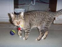 Domestic Short Hair - Holden - Medium - Adult - Male -