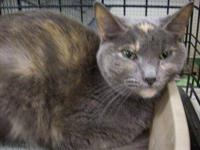 Domestic Short Hair - Holly - Medium - Adult - Female -