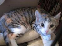 Domestic Short Hair - Holly - Small - Baby - Female -