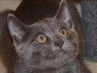 Domestic Short Hair - Honey - Medium - Baby - Female -