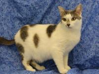 Domestic Short Hair - Honey - Small - Adult - Female -