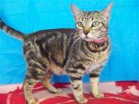 Domestic Short Hair - Hope - Medium - Adult - Female -