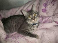 Domestic Short Hair - Hope - Small - Young - Female -