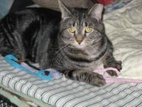 Domestic Short Hair - Houdini - Medium - Young - Male -