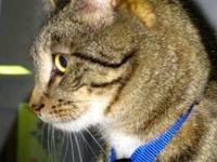 Domestic Short Hair - Hubie - Medium - Adult - Male -