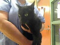 Domestic Short Hair - Hunt 5 - Large - Adult - Male -
