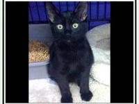 Domestic Short Hair - Inky - Medium - Young - Female -