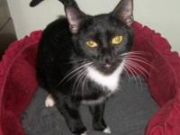 Domestic Short Hair - Irene - Small - Young - Female -