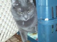 Domestic Short Hair - Isabella - Large - Adult - Female