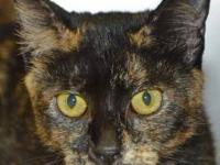 Domestic Short Hair - Isabella - Medium - Young -