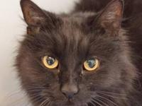 Domestic Short Hair - Jack - Medium - Adult - Male -