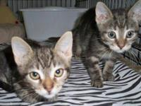 Domestic Short Hair - Jackie (m) & Babe (f) - Medium -