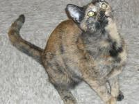 Domestic Short Hair - Jada - Medium - Adult - Female -