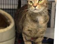 Domestic Short Hair - Jade - Medium - Adult - Female -