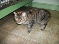 Domestic Short Hair - Jade - Medium - Young - Female -