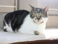 Domestic Short Hair - Jamison - Large - Young - Male -