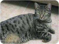 Domestic Short Hair - Jan - Medium - Adult - Female -