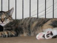 Domestic Short Hair - Janna & Jamison - Medium - Baby -