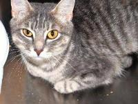Domestic Short Hair - Jasmine - Small - Adult - Female