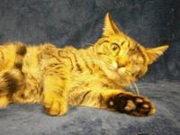 Domestic Short Hair - Jasper - Small - Young - Female -