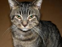 Domestic Short Hair - Jefferson - Medium - Adult - Male