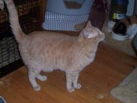Domestic Short Hair - Jeffrey - Medium - Adult - Male -