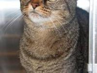 Domestic Short Hair - Jenna - Medium - Adult - Female -