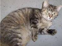 Domestic Short Hair - Jenna - Medium - Young - Female -